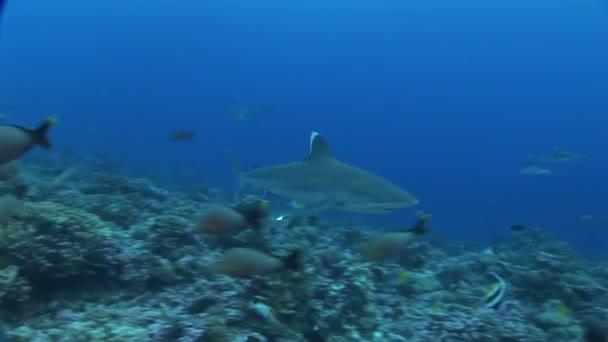 Silvertip cápák megközelítések kamera, közelről