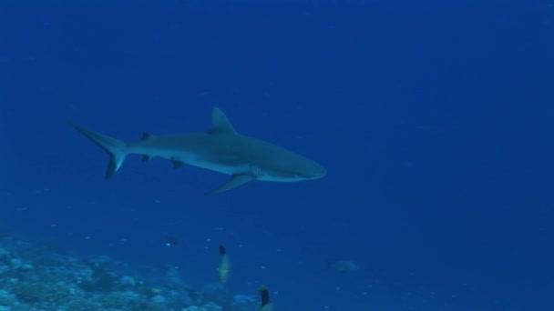 reefshark úszik a kamera felé