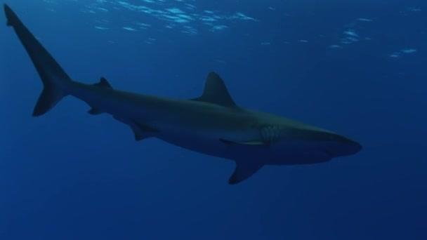 Riffhai im blauen Ozean
