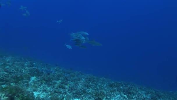 Riffhai gefolgt von Makrelen-Entourage