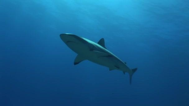 reefshark háttérvilágítás úszás