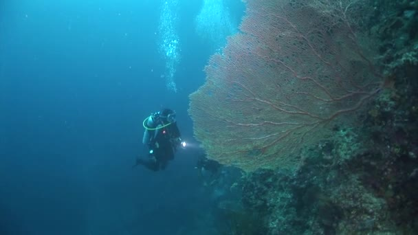gorgone coral with divers