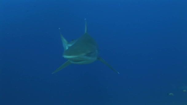 Silberhaie nähern sich Kamera aus nächster Nähe