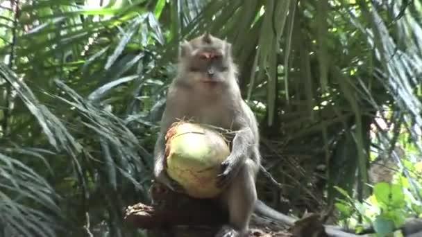 Makak hospodářství kokos