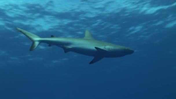 Riffhai schwimmt gegen die Oberfläche