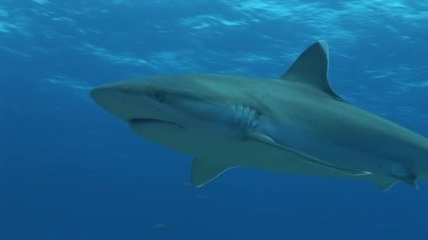 Silvertip cápa halad a kamera előtt, közelről