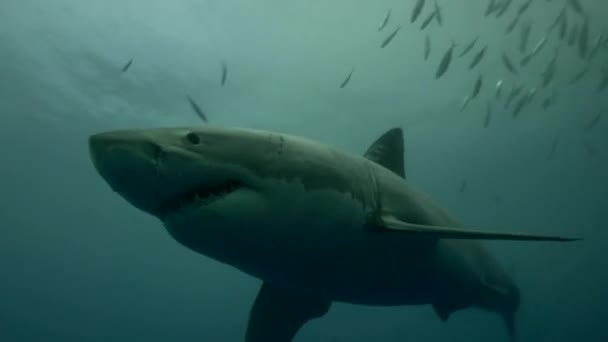 white shark in Guadalupe island