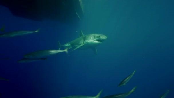 fehér cápa Guadalupe-sziget
