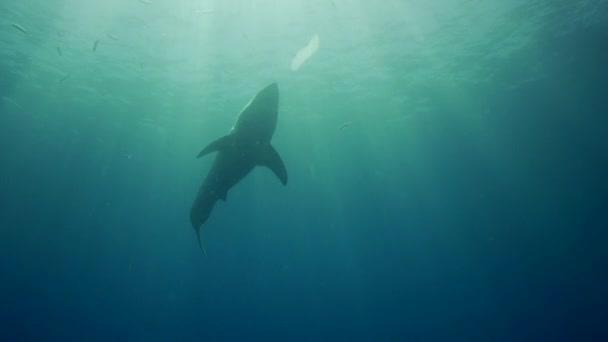 Weißer Hai auf Guadalupe-Insel
