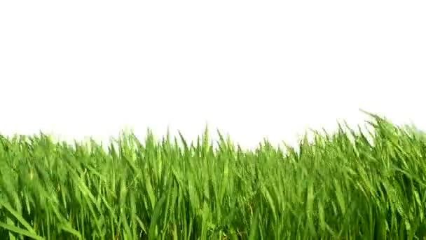 Grass waving in the wind