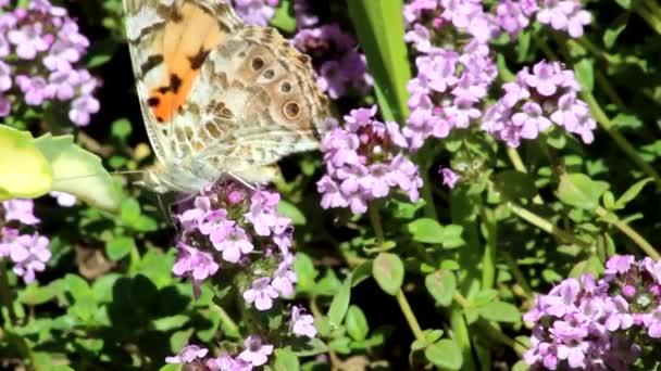 Pillangó az orgona kakukkfű virágok