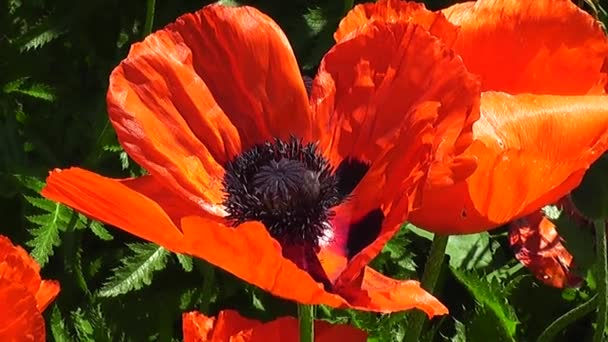 The scarlet petals of an ornamental poppy are swaying from the breeze in the garden.
