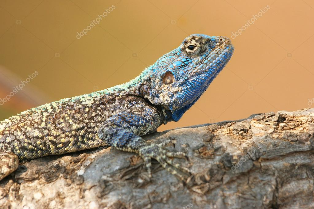 Blue Agama laying on stone