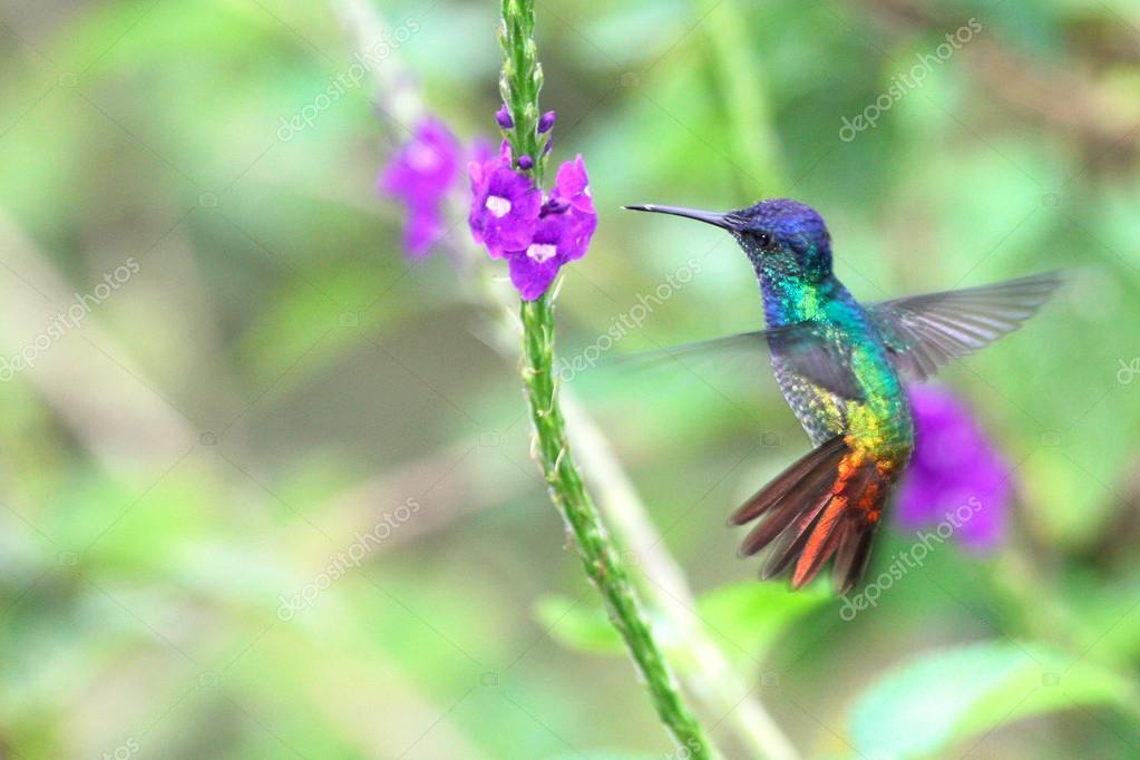 Golden-tailed Sapphire, hummingbird in flight