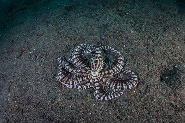 Mimic Octopus on Seafloor