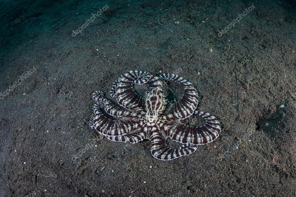 Mimic Octopus on Seafloor