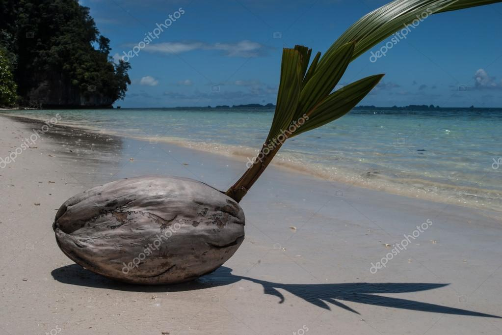 https://st2.depositphotos.com/4741801/10319/i/950/depositphotos_103190158-stock-photo-coconut-on-tropical-beach.jpg