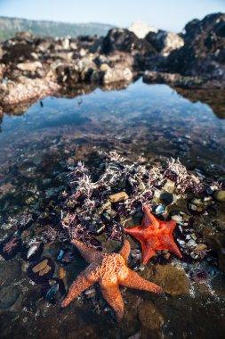Vibrant Starfish in Tide Pool