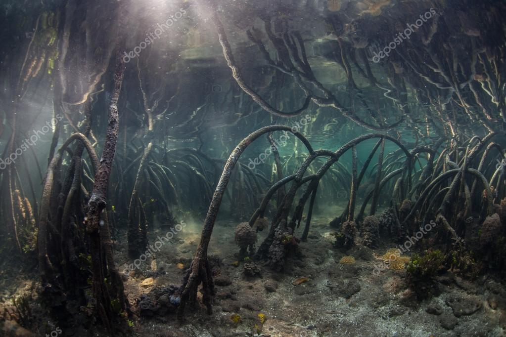Mangrove Roots in Calm Water