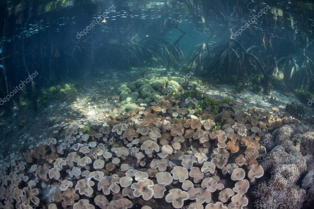 Corals and Mangrove Forest in Raja Ampat