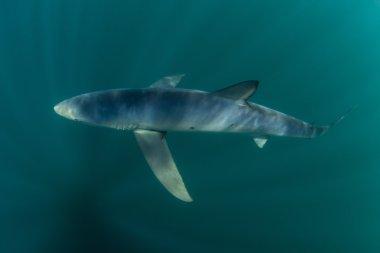 Blue Shark in Atlantic Ocean