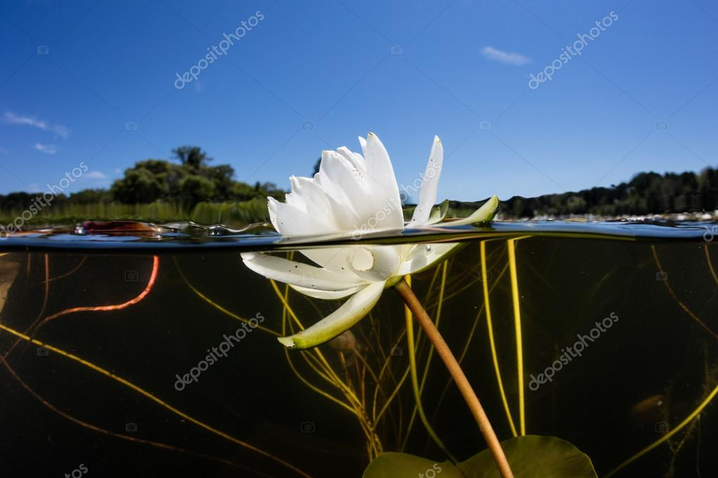 Lily Pad Flower in New England Lake