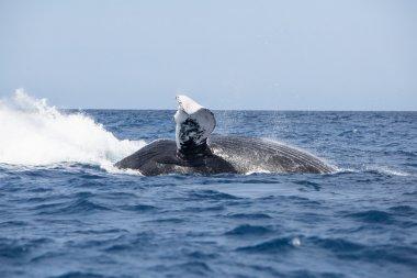 Humpback Whale Crashing Into Water