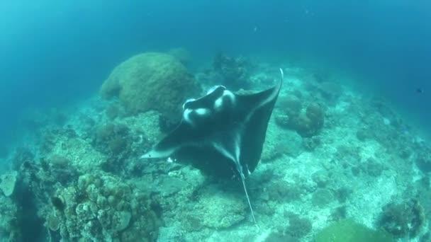 Manta ray plave přes mělký korálový útes