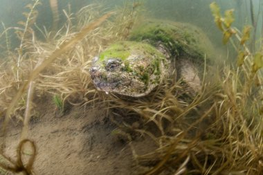 Common snapping turtle crawls amid the muck