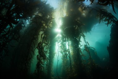 Sunlight filters through a Giant kelp forest