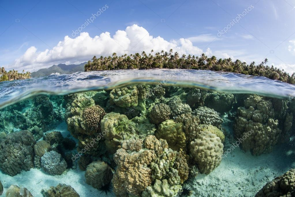 Coral reef grows in the shallows