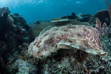 well-camouflaged Tasseled wobbegong shark