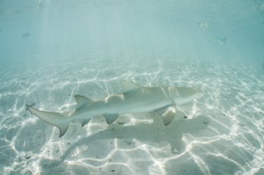 A Lemon shark cruises through the clear shallow waters