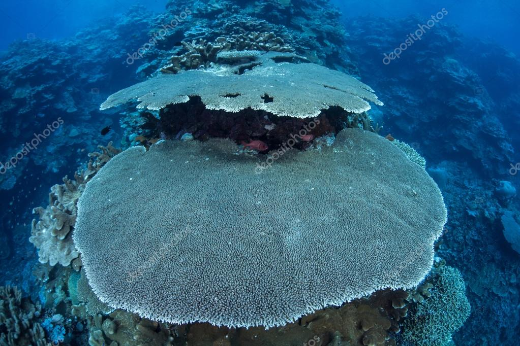 Table corals on a coral reef in Buyat Bay