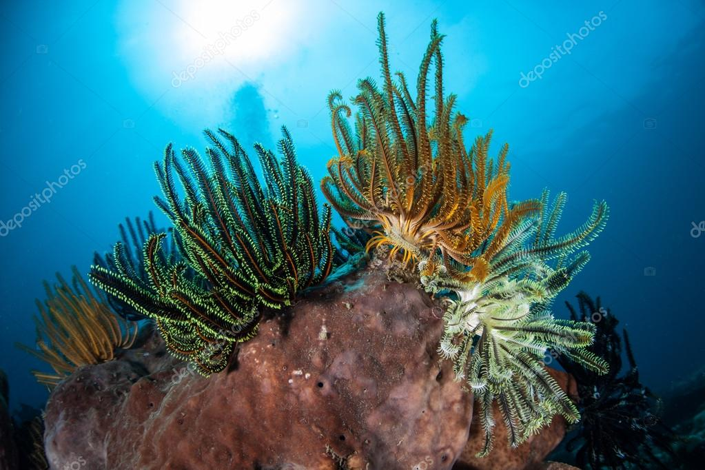A feather star extends its colorful arms