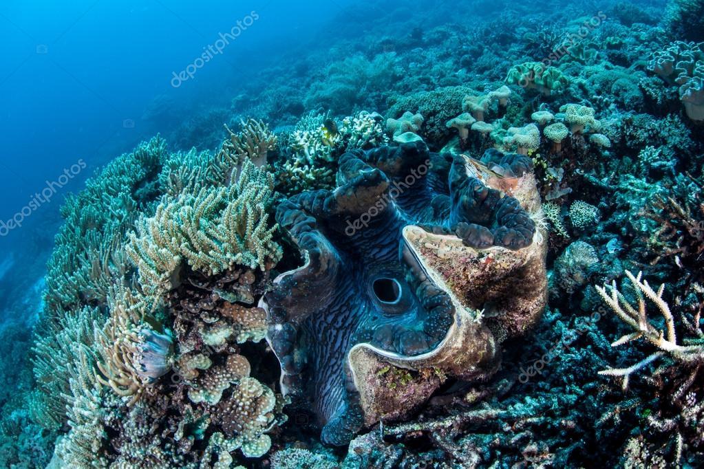 Giant clam (Tridacna gigas)