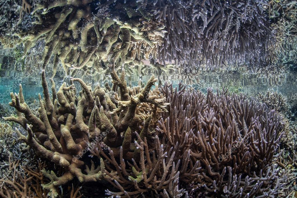 Fragile corals grow in shallow water