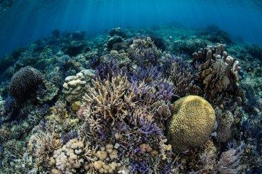 Diverse Coral Reef Near Ko