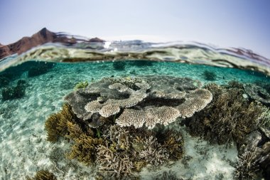 Healthy Coral Reef in Shallow Water