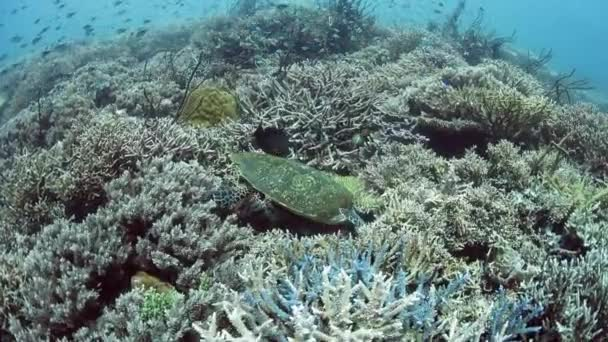 Hawksbill Sea Turtle in Indonesia