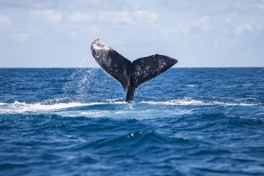 Humpback Whale Tail in Caribbean