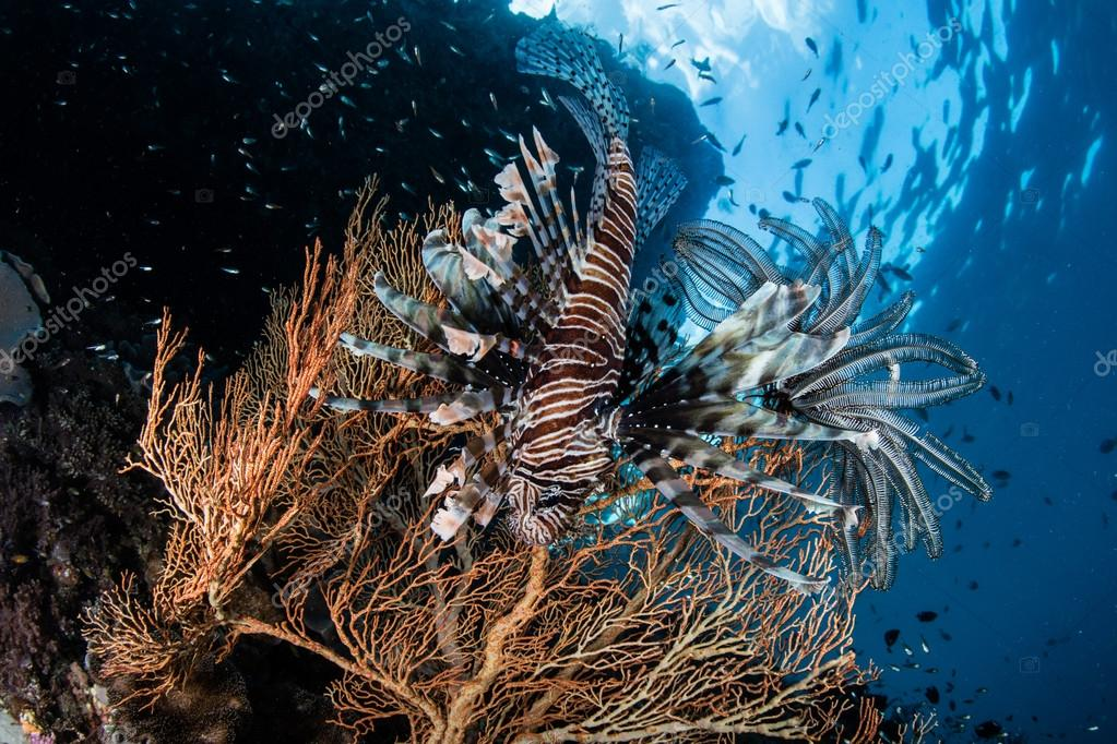 Lionfish and Colorful Gorgonian