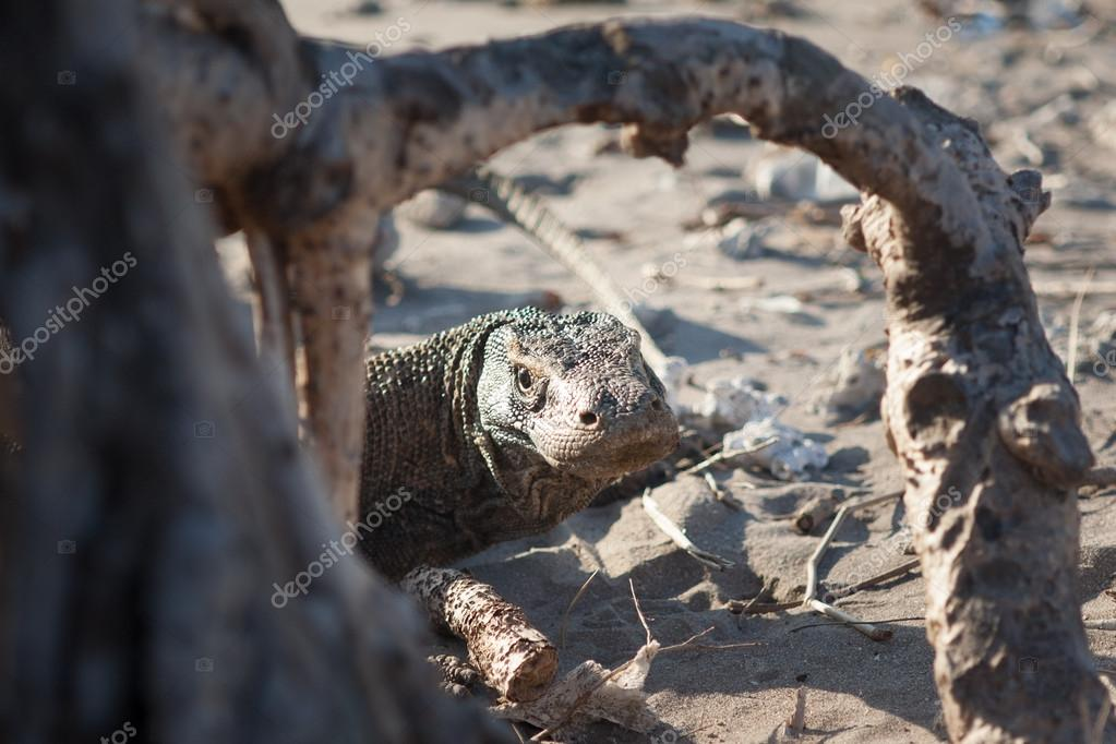 Komodo Dragon Looking Through Tree Roots