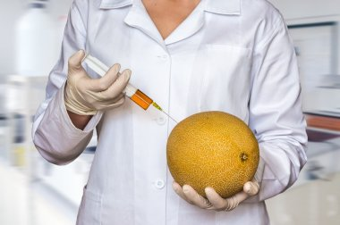 GMO experiment: Scientist injecting liquid from syringe into yellow melon in agricultural research laboratory