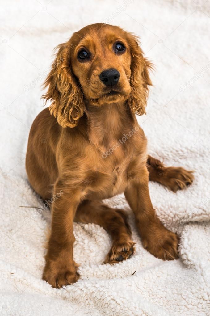 f0570e9d05c Anglický kokršpaněl štěně izolovaných na bílou vrstvou pozadí — Fotografie  od ...