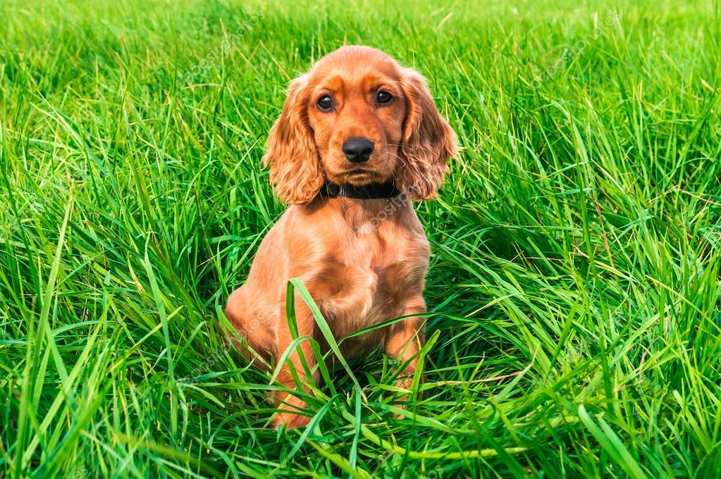 18cfe764a9b Anglický kokršpaněl štěně sedící na zelené trávě — Fotografie od ...