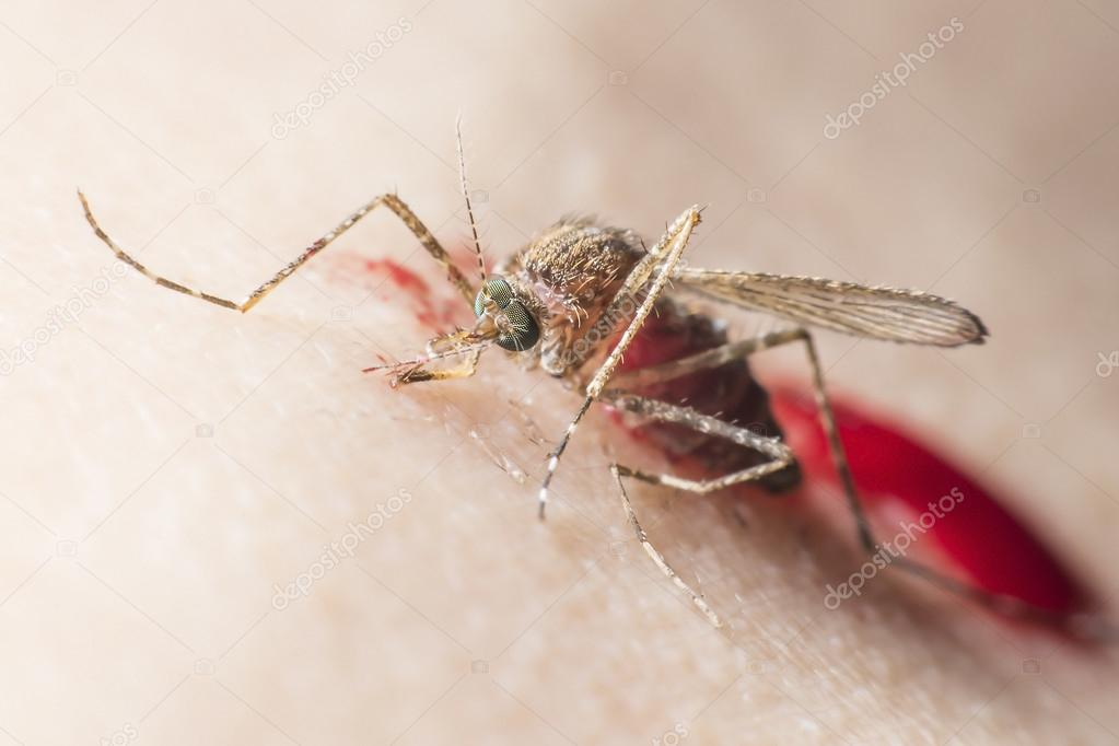 mosquito drinks blood out of man