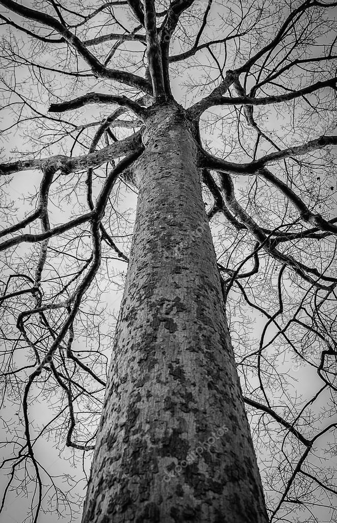 Black and white photo of dead winter tree,Thailand