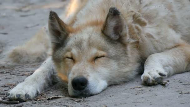 Zajímavý legrační pes vypadá jako vlk s bílou srstí leží na zemi na ulici v létě