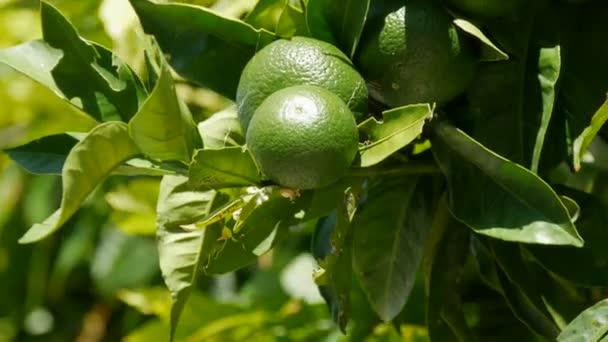 Grüne Zitronen auf dem Baum. Zitronen vor dem Hintergrund grüner Blätter